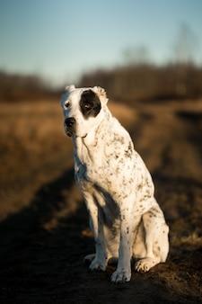 Cachorro alabai sentado em um campo de outono