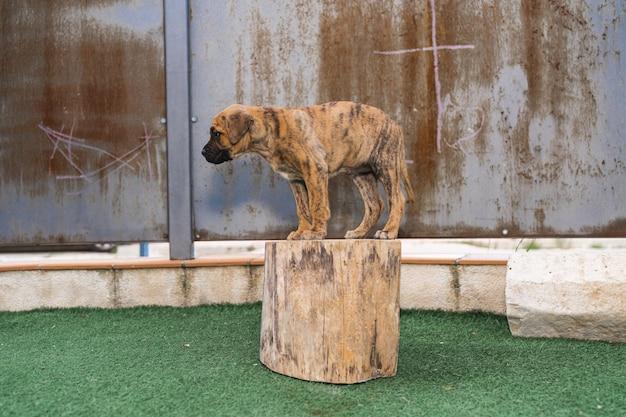 Cachorro alano espanhol em pé no toco de uma árvore, com medo de pular