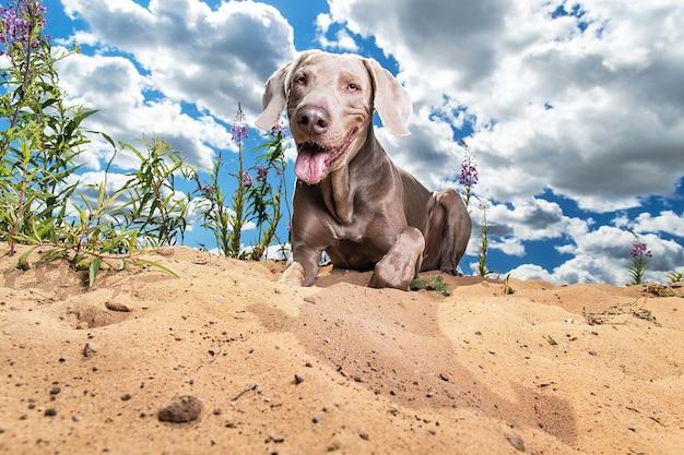 Cachorro alegre e relaxado deitado na areia em um parque ensolarado, parecendo despreocupado com a língua de fora da câmera