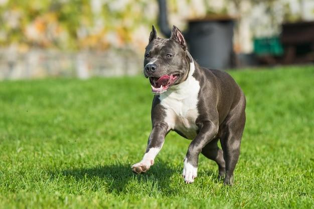 Cachorro american staffordshire terrier fêmea tigrado azul ou amstaff em movimento na natureza