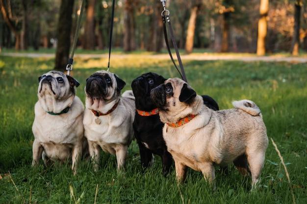 Cachorro andando com muitos pugs andador de cães profissional passeando com cães no parque do pôr do sol de outono