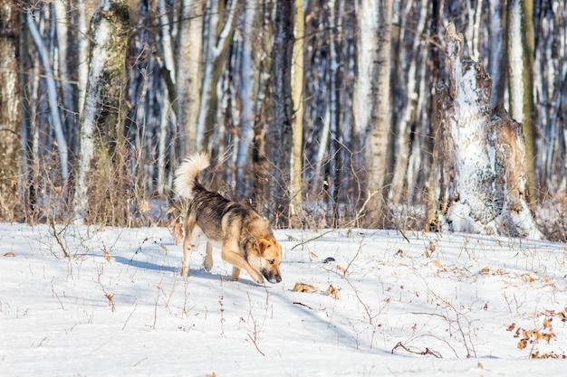 Cachorro andando na floresta de inverno com tempo ensolarado