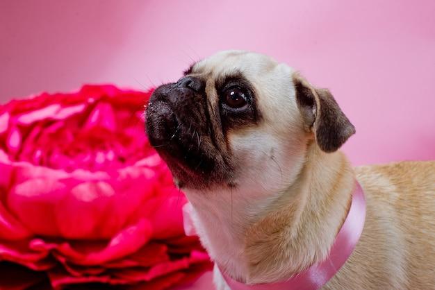 Cachorro aniversariante engraçado comendo bolo com uma vela na frente dele na superfície rosa