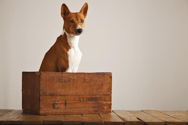 Cachorro basenji calmo e relaxado sentado em silêncio em uma bela caixa de vinho vintage contra o fundo da parede branca