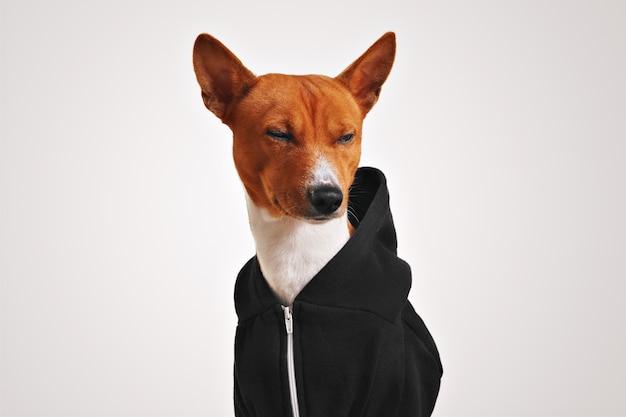 Cachorro basenji marrom e branco em um moletom preto com zíper de metal apertando os olhos desdenhosamente no branco