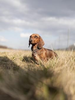 Cachorro bassê marrom fofo durante o dia