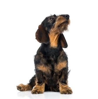 Cachorro bassê olhando para cima