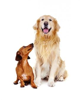 Cachorro bassê, olhando para o golden retriever