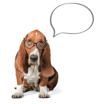 Cachorro basset hound de óculos com balão de fala