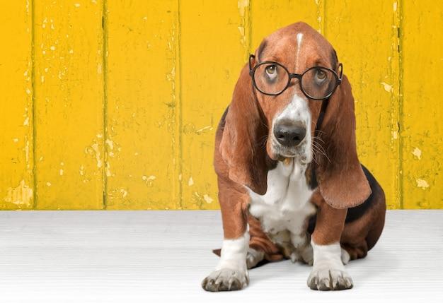 Cachorro basset hound de óculos no fundo