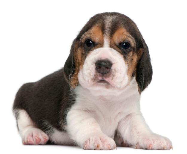 Cachorro beagle, 1 mês de idade, deitado