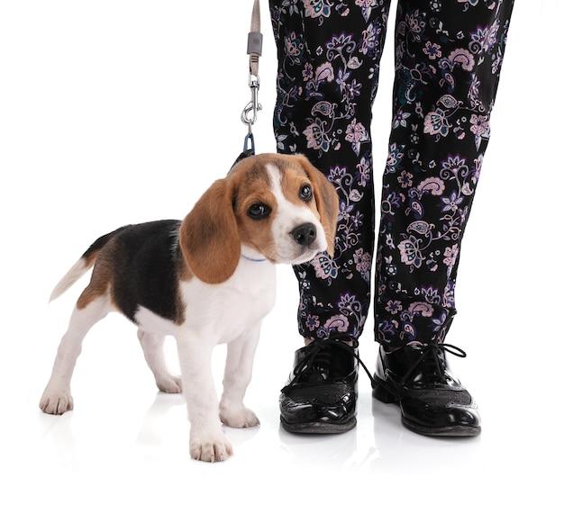 Cachorro beagle amarrado com uma guia ao pé de seu dono na sala branca