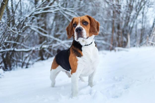 Cachorro beagle americano saindo em campo no inverno