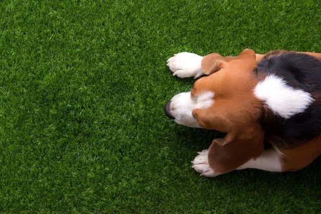 Cachorro beagle bonito está deitado na grama