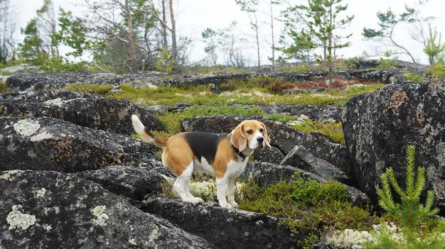Cachorro beagle brincando ao ar livre no mar