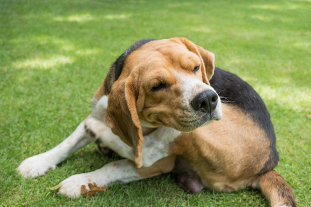 Cachorro beagle coçar na grama
