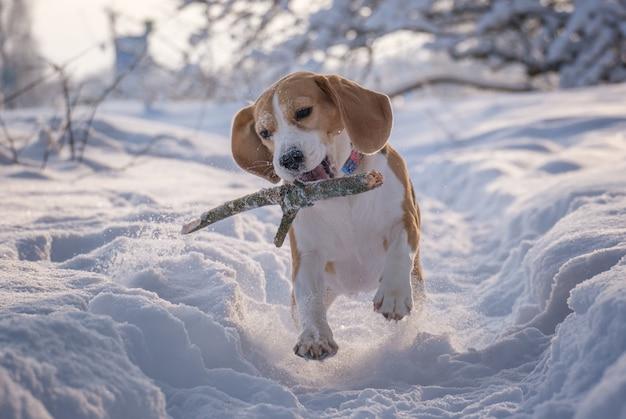 Cachorro beagle corre e brinca em um lindo parque coberto de neve de conto de fadas no inverno