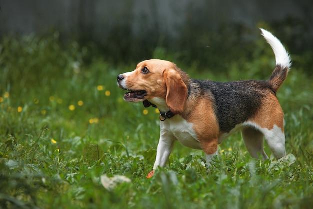 Cachorro beagle corre na grama com a cauda para cima, orelhas compridas