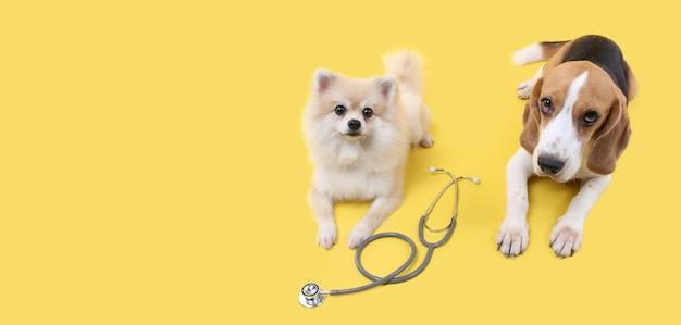Cachorro beagle e cachorro pomeranian com estetoscópio como veterinário