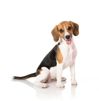 Cachorro beagle em branco