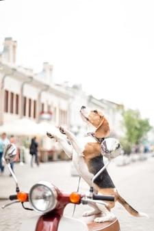 Cachorro beagle em pé sobre as patas traseiras em uma scooter no contexto de uma rua da cidade
