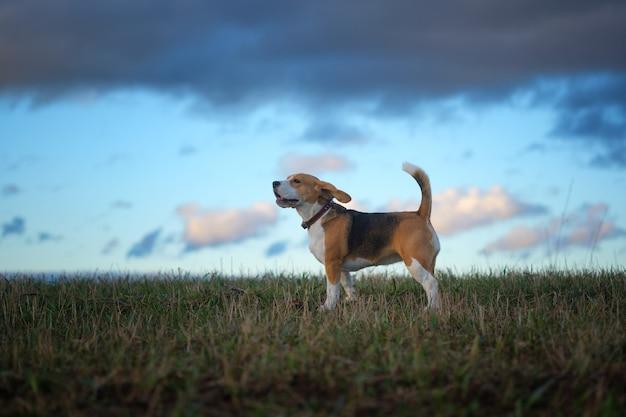 Cachorro beagle em um passeio na noite de primavera ao pôr do sol