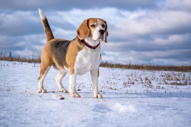 Cachorro beagle em uma caminhada em um dia ensolarado de inverno em um campo coberto de neve