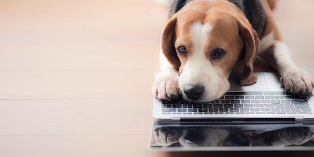 Cachorro beagle engraçado olha para a tela do laptop e mantém as patas no teclado