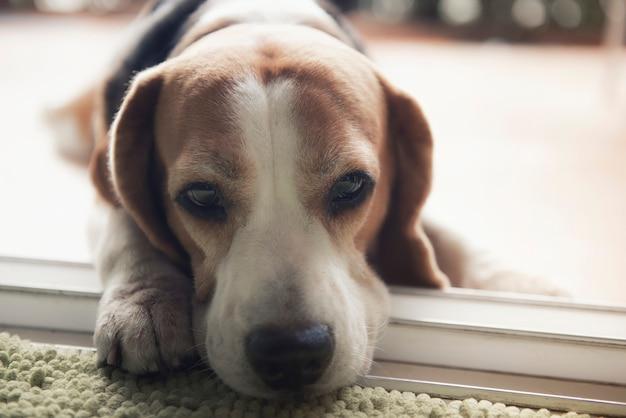 Cachorro beagle está deitado. olhe com olhos gentis