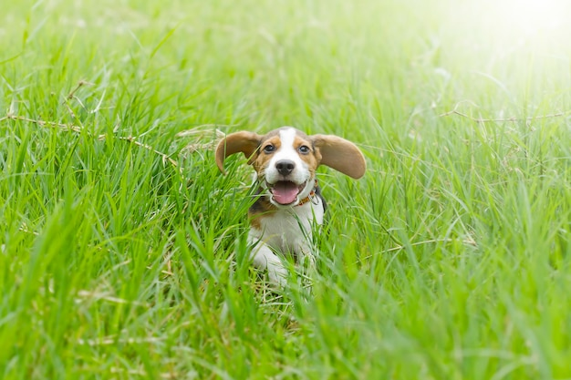 Cachorro beagle (hound) correndo na grama verde brilhante