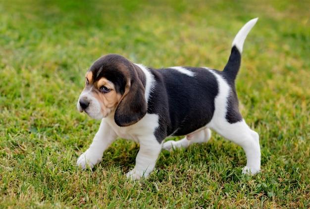 Cachorro beagle lindo na grama verde