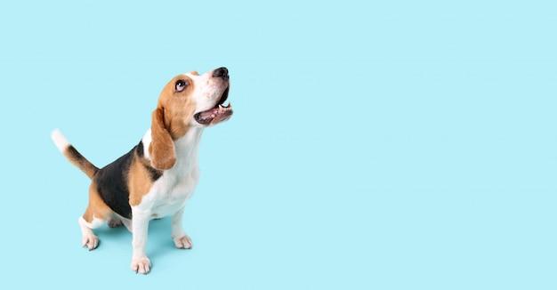 Cachorro beagle no azul