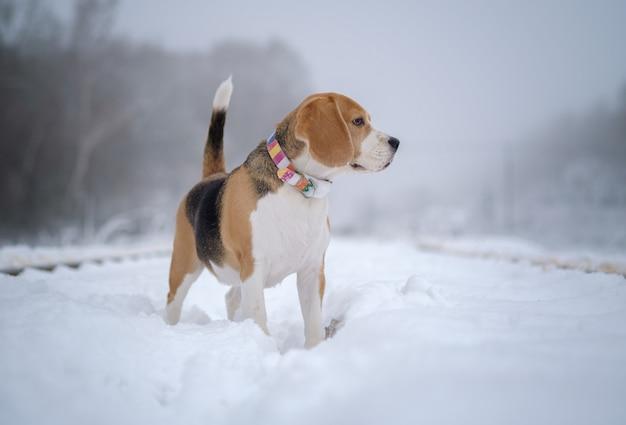 Cachorro beagle no nevoeiro em um dia de inverno em uma caminhada em um parque coberto de neve