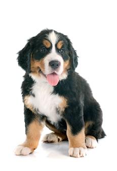 Cachorro bernese moutain cachorro