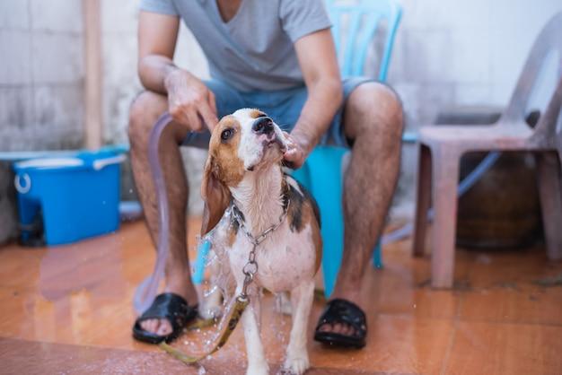 Cachorro bonito beagle tomar um banho