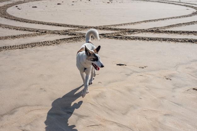 Cachorro branco andando correndo pela praia cercado pelo mar sob a luz do sol e um céu azul