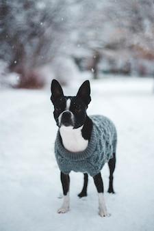 Cachorro branco e preto com suéter cinza parado no campo de neve
