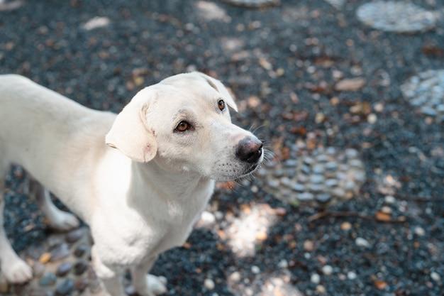 Cachorro branco fofo e faminto procurando e implorando por comida em um jardim rochoso, animal de estimação amigável, cachorro tailandês