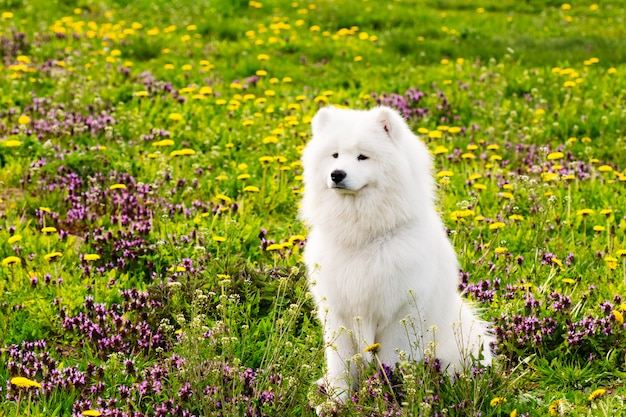 Cachorro branco samoiedo em um fundo de relva verde