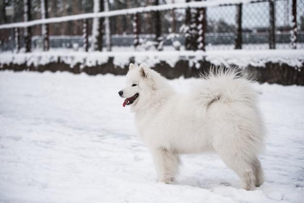 Cachorro branco samoiedo está na neve lá fora no fundo do inverno