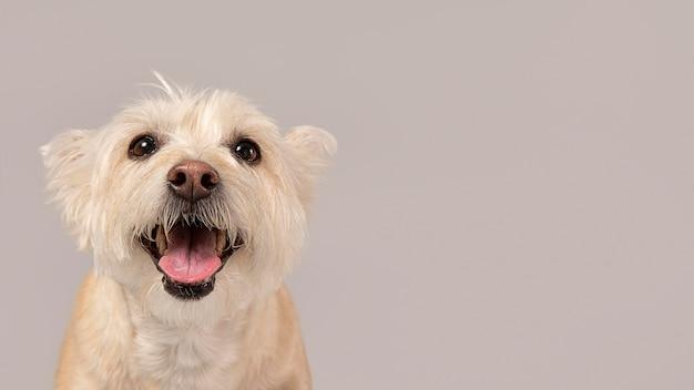 Cachorro branco sendo fofo em um estúdio