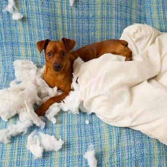 Cachorro brincalhão desobediente depois de morder um travesseiro