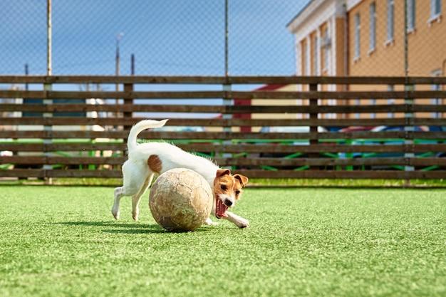 Cachorro brincando com bola de futebol na grama verde