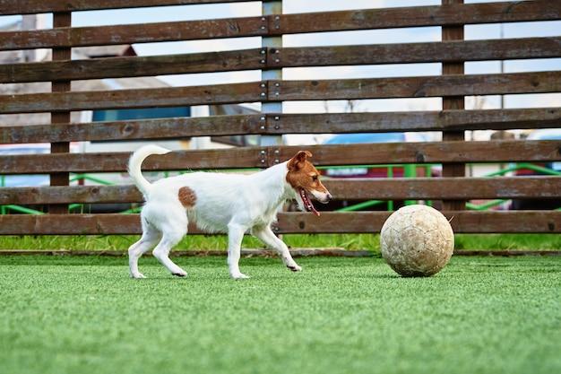 Cachorro brincando com uma bola de futebol na grama verde