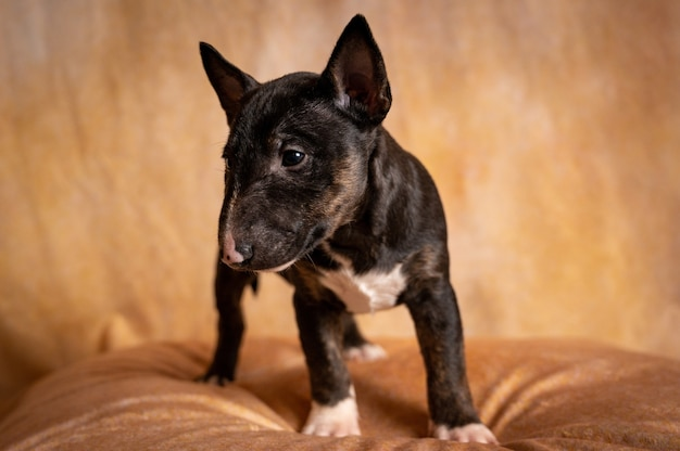 Cachorro bull terrier miniatura em pé