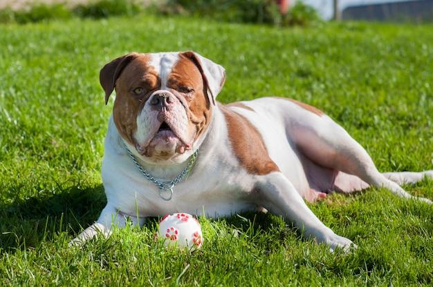 Cachorro bulldog americano adulto vermelho brincando com bola
