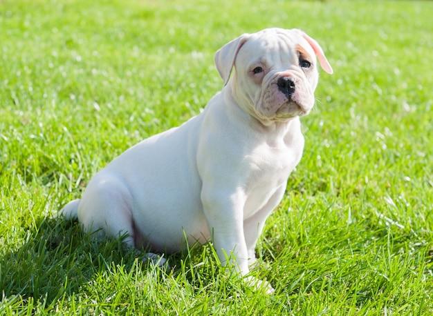 Cachorro bulldog americano com casaco branco engraçado