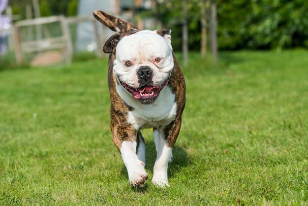 Cachorro bulldog americano com casaco tigrado em movimento na grama no quintal