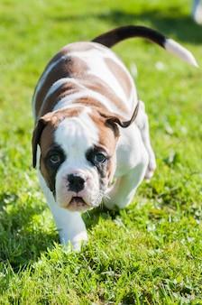 Cachorro bulldog americano com manchas vermelhas brancas engraçadas está na natureza