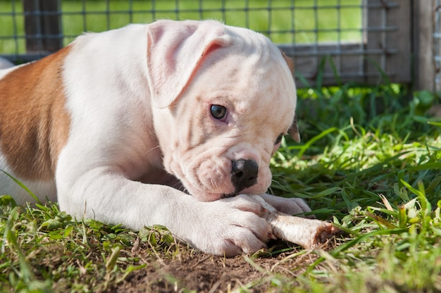 Cachorro bulldog americano comendo uma pata de frango na natureza